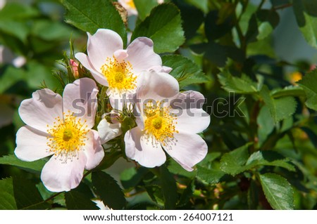 dog-rose, briar, brier, canker-rose, eglantine. rose flowers. rose flowers photographed in the mountains - stock photo