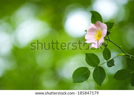 Dog rose close-up. Selective focus (shallow depth of field). Please watch my sets for more photos like this.  - stock photo
