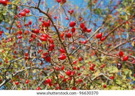 Dog rose fruits (Rosa canina) in a forest of the Carpathian mountains. - stock photo