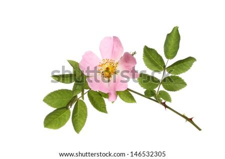 Dog rose, Rosa canina, flower and leaves isolated against white - stock photo