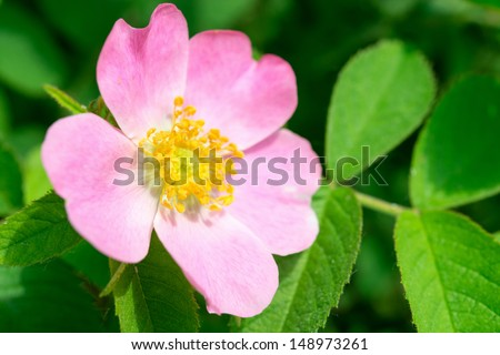 Dog rose (Rosa canina) flower on a green branch - stock photo