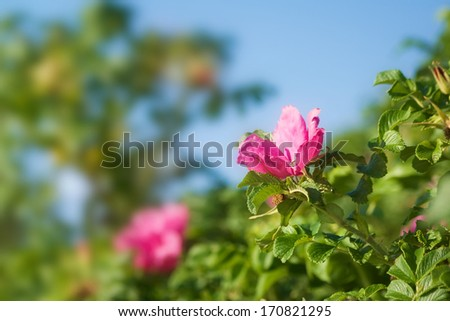Dog roses with blue sky - stock photo