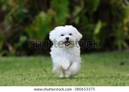 Dog Running / A white maltese dog running on the grass with plants on the background - stock photo