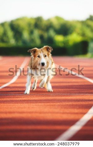 Dog running at sport stadium in summer - stock photo