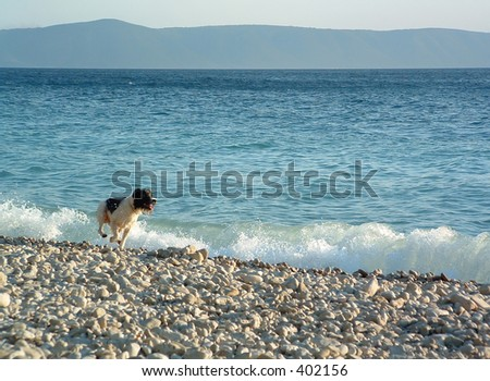 dog running by the sea