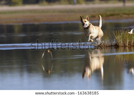 Dog running for flying sandpipers  - stock photo
