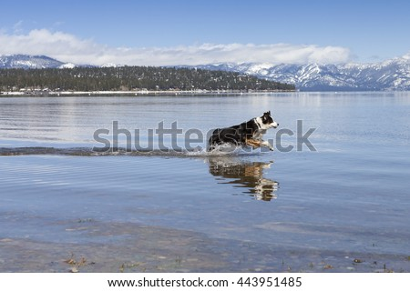 Dog running in Lake Tahoe water during Winter.