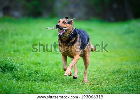 Dog running in the rain with stick in a mouth on green grass - stock photo