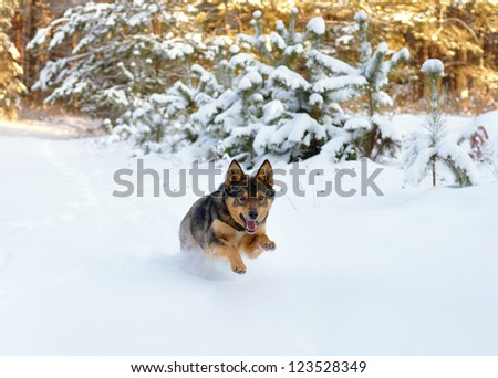 Dog running in the snow - stock photo