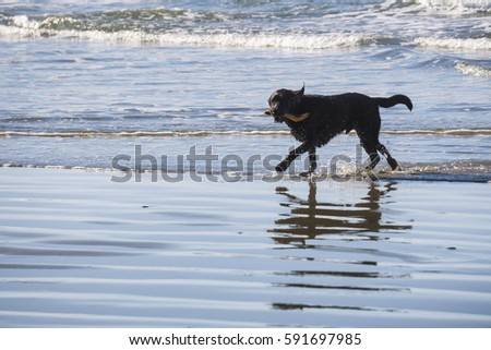 Dog running in the water on a beach in Tofino, Vancouver Island, British Columbia, Canada. Picture taken on a bright, sunny and hazy winter day.
