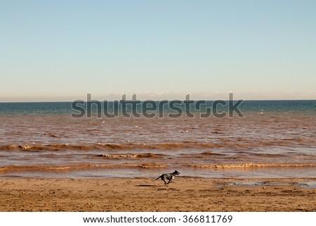 Dog running on the beach - stock photo