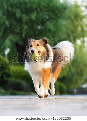 Dog-Running Shetland Sheepdog with ball - stock photo