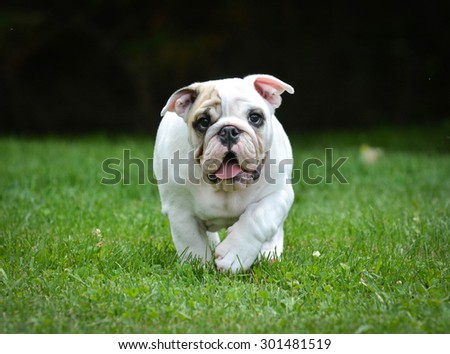 dog running - three month old male bulldog puppy - stock photo