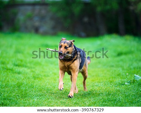 dog running with a stick in his mouth - stock photo