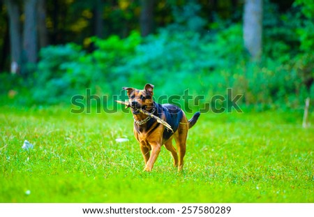 Dog running with a stick in its mouth in a grass - stock photo