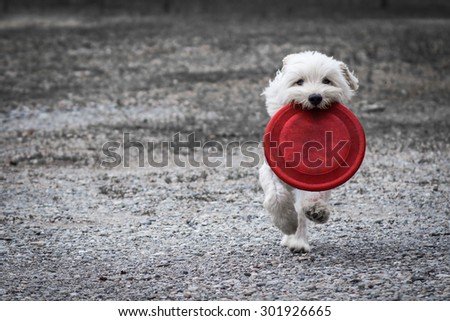 Dog running with his disc - stock photo