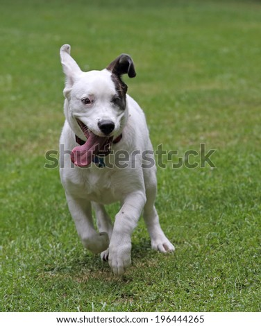 Dog running with its tongue out in the grass