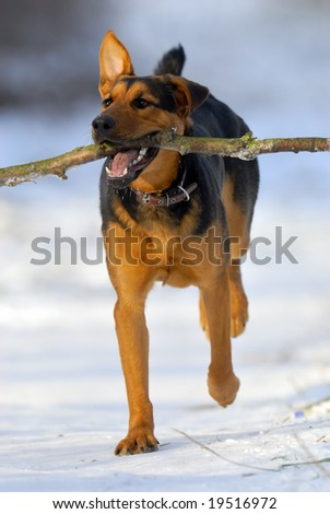 dog runnint with stick