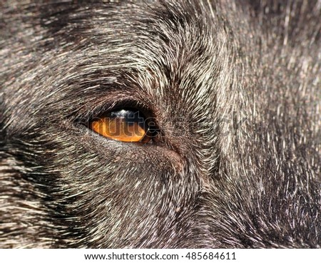 Dog's eye closeup