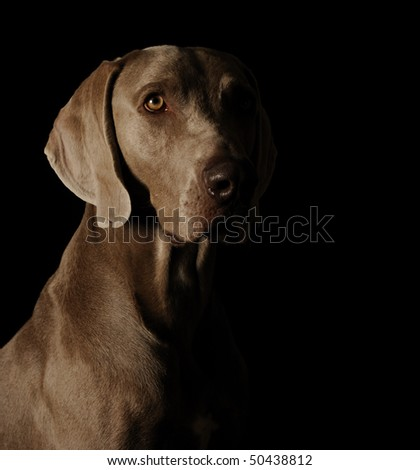 dog's face on a black background. Weimaraner - stock photo