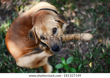 Dog scratching  - stock photo