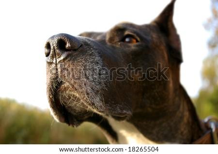 Dog sense of smell - stock photo