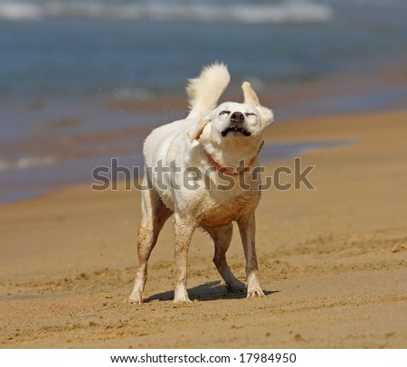 Dog shaking off on the beach - stock photo
