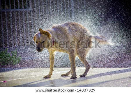 Dog shaking off water, droplets of water clearly visible with sunlight highlighting droplets - stock photo