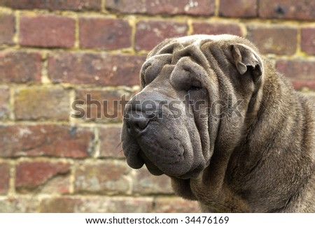 dog, shar pei - stock photo