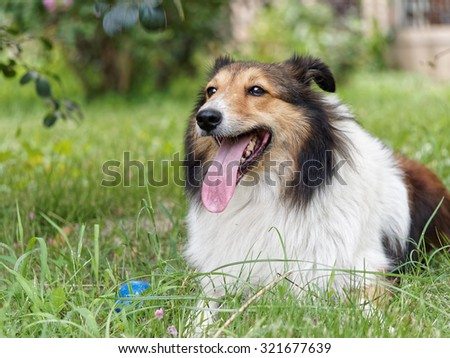Dog, Shetland sheepdog, collie, smile with mouth open, lying on grass.