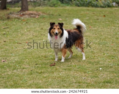 Dog, Shetland sheepdog, collie, standing on grass, she was waiting for ball retrieving - stock photo
