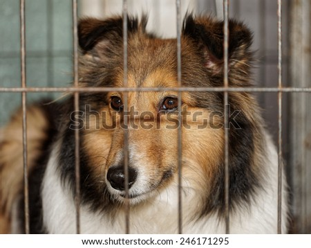 Dog, Shetland sheepdog in cage - stock photo
