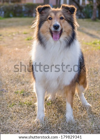 Dog, Shetland sheepdog waiting to play in field, back lighting portrait.
