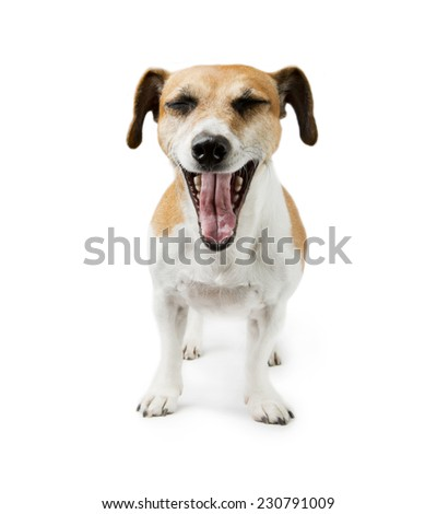 Dog shouts, open mouth. White background. Studio shot