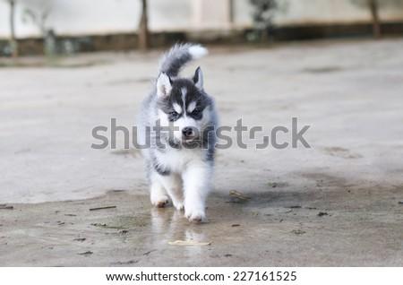 dog siberian husky - stock photo