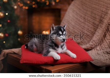 Dog Siberian Husky , Cute little siberian husky puppy, Christmas and New Year
