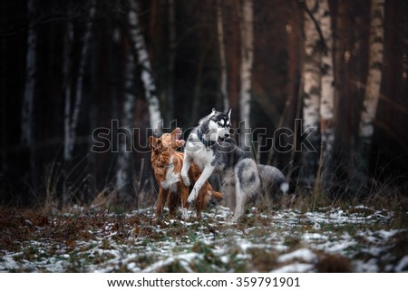 Dog Siberian Husky, Nova Scotia Duck Tolling Retriever walking in winter park