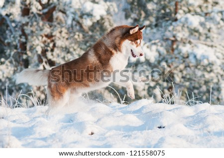 dog siberian husky runs and jumps in the snow - stock photo