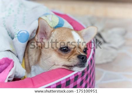 dog, sick, tiny, chihuahua, hurt, bed - stock photo