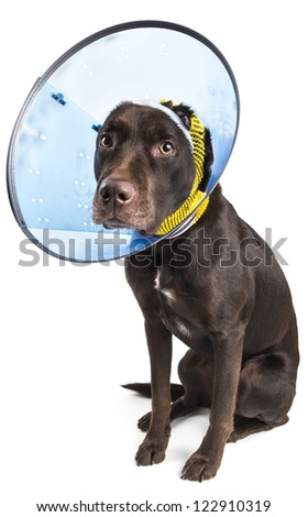 Dog sitting and wearing a collar cone to heal ear injury. - stock photo