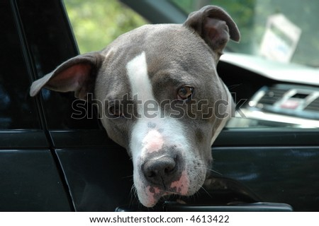 Dog sitting in a car with it's head out of the window