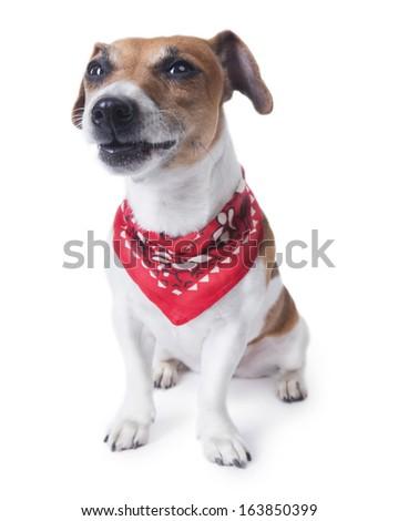 Dog sitting in a rocker stylish accessory red bandana and grimacing funny. White background, studio shot - stock photo