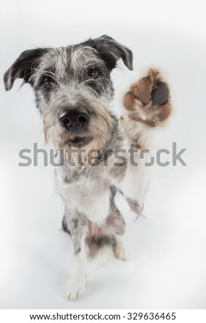 Dog sitting in studio looking at the camera lifting paw for a high five - stock photo