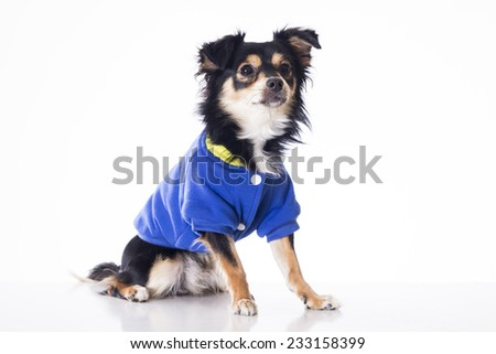 Dog sitting looking front side wearing blue jersey - stock photo