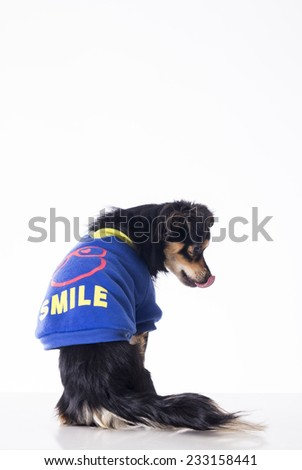 Dog sitting looking right side with his tongue out wearing blue jersey - stock photo