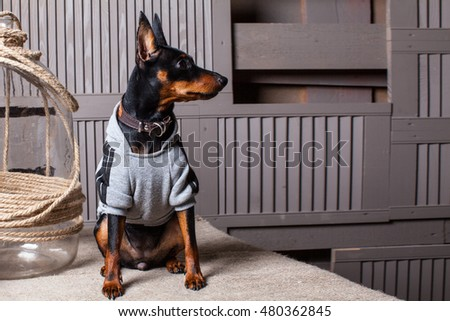 Dog. Sitting on a table against the background of the wooden planks. Doberman. A small dog. Miniature Pinscher. Dog in sweater. Dog near a glass bottle. Puppy in the country. Dog photos in the studio.