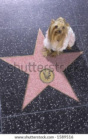 Dog sitting on Walk of Fame - stock photo