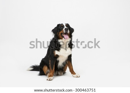 Dog Sitting on White Background with Space for Text or Image. Bernese Mountain Dog or Berner Sennenhund dog isolated. - stock photo