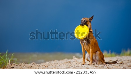 dog sitting with frisbee in mouth - stock photo