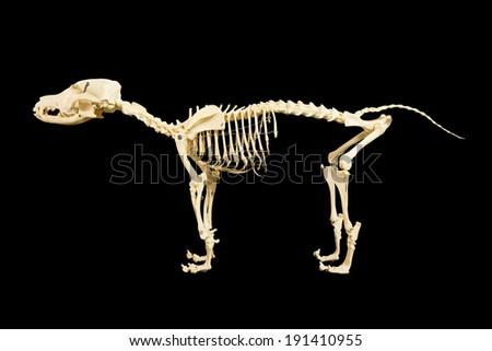 Dog skeleton model on black background - stock photo